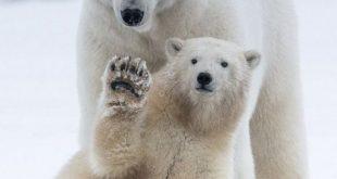 دب 2019 معلومات كاملة عن الدب صور ميكس 9