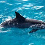 -دلفين-تعرف-على-حياة-وأنواع-الدلفين-صور-ميكس-11-150x150 صور دلفين تعرف على حياة وأنواع الدلفين