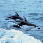-دلفين-تعرف-على-حياة-وأنواع-الدلفين-صور-ميكس-14-150x150 صور دلفين تعرف على حياة وأنواع الدلفين