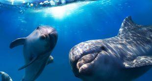 دلفين تعرف على حياة وأنواع الدلفين صور ميكس 23