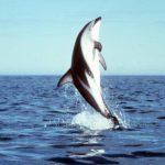 -دلفين-تعرف-على-حياة-وأنواع-الدلفين-صور-ميكس-26-150x150 صور دلفين تعرف على حياة وأنواع الدلفين
