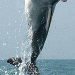 دلفين تعرف على حياة وأنواع الدلفين صور ميكس 33