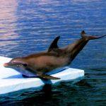 -دلفين-تعرف-على-حياة-وأنواع-الدلفين-صور-ميكس-34-150x150 صور دلفين تعرف على حياة وأنواع الدلفين