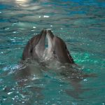 دلفين تعرف على حياة وأنواع الدلفين صور ميكس 39