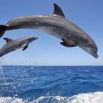 دلفين تعرف على حياة وأنواع الدلفين صور ميكس 43