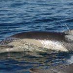 -دلفين-تعرف-على-حياة-وأنواع-الدلفين-صور-ميكس-45-150x150 صور دلفين تعرف على حياة وأنواع الدلفين