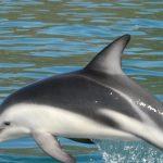 دلفين تعرف على حياة وأنواع الدلفين صور ميكس 46