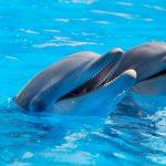 دلفين تعرف على حياة وأنواع الدلفين صور ميكس 7