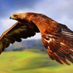 -صقر-تعرف-على-حياة-الصقر-وأنواعة-صور-ميكس-13-150x150 صور صقر تعرف على حياة الصقر وأنواعة