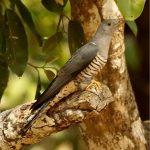 -طائر-الوقواق-وحياة-أنواع-طائر-الوقواق-صور-ميكس-11-150x150 صور طائر الوقواق وحياة أنواع طائر الوقواق