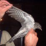 -طائر-الوقواق-وحياة-أنواع-طائر-الوقواق-صور-ميكس-14-150x150 صور طائر الوقواق وحياة أنواع طائر الوقواق