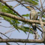 -طائر-الوقواق-وحياة-أنواع-طائر-الوقواق-صور-ميكس-19-150x150 صور طائر الوقواق وحياة أنواع طائر الوقواق