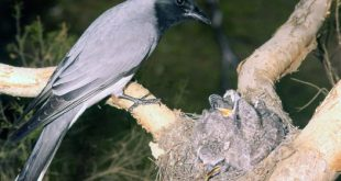 طائر الوقواق وحياة أنواع طائر الوقواق صور ميكس 28