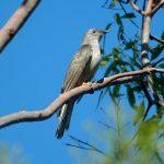 -طائر-الوقواق-وحياة-أنواع-طائر-الوقواق-صور-ميكس-3-150x150 صور طائر الوقواق وحياة أنواع طائر الوقواق