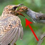 -طائر-الوقواق-وحياة-أنواع-طائر-الوقواق-صور-ميكس-33-150x150 صور طائر الوقواق وحياة أنواع طائر الوقواق
