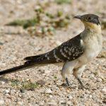 -طائر-الوقواق-وحياة-أنواع-طائر-الوقواق-صور-ميكس-36-150x150 صور طائر الوقواق وحياة أنواع طائر الوقواق