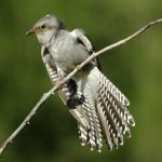 -طائر-الوقواق-وحياة-أنواع-طائر-الوقواق-صور-ميكس-38-150x150 صور طائر الوقواق وحياة أنواع طائر الوقواق