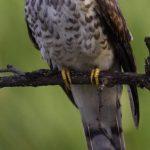 -طائر-الوقواق-وحياة-أنواع-طائر-الوقواق-صور-ميكس-39-150x150 صور طائر الوقواق وحياة أنواع طائر الوقواق
