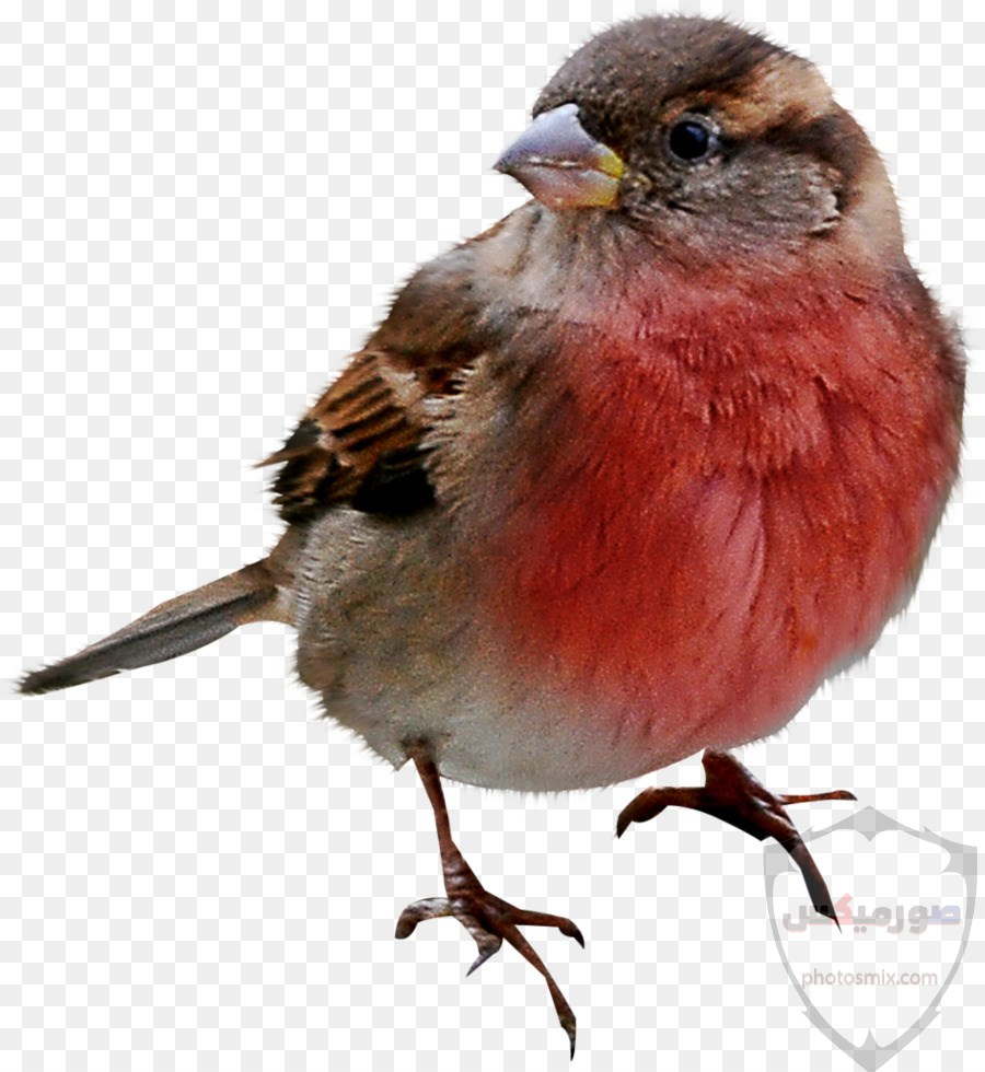 صور طيور. صور طيور عافصير ملونة الحب للتصميم اجمل انستقرام رمزيات طائر الربيع جمال الطيور. اجمل العصافير طيور الربيع صور عصفور 8