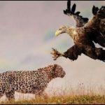 -فهد-2019-معلومات-كاملة-عن-الفهود-صور-ميكس-40-150x150 صور فهد 2019 معلومات كاملة عن الفهود