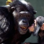 -قرد-تعرف-على-حياة-القرود-وأنوعها-صور-ميكس-2-150x150 صور قرد تعرف على حياة القرود وأنوعها