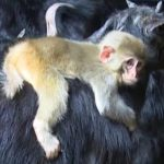 -قرد-تعرف-على-حياة-القرود-وأنوعها-صور-ميكس-31-150x150 صور قرد تعرف على حياة القرود وأنوعها