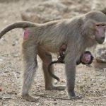 -قرد-تعرف-على-حياة-القرود-وأنوعها-صور-ميكس-42-150x150 صور قرد تعرف على حياة القرود وأنوعها