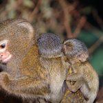 -قرد-تعرف-على-حياة-القرود-وأنوعها-صور-ميكس-8-150x150 صور قرد تعرف على حياة القرود وأنوعها