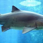 قرش تعرف على حياة القرش وأنواعة صور ميكس 28