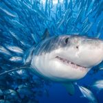قرش تعرف على حياة القرش وأنواعة صور ميكس 32