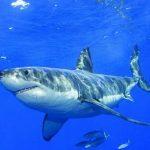 قرش تعرف على حياة القرش وأنواعة صور ميكس 40