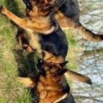 كلاب 2019 أنواع الكلاب ومميزتها صور ميكس 9