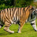 -نمر-2019-معلومات-النمور-كاملة-صور-ميكس-1-150x150 صور نمر 2019 معلومات النمور كاملة