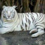 -نمر-2019-معلومات-النمور-كاملة-صور-ميكس-10-150x150 صور نمر 2019 معلومات النمور كاملة