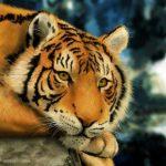 -نمر-2019-معلومات-النمور-كاملة-صور-ميكس-14-150x150 صور نمر 2019 معلومات النمور كاملة