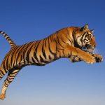 -نمر-2019-معلومات-النمور-كاملة-صور-ميكس-16-150x150 صور نمر 2019 معلومات النمور كاملة