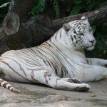 -نمر-2019-معلومات-النمور-كاملة-صور-ميكس-17-150x150 صور نمر 2019 معلومات النمور كاملة