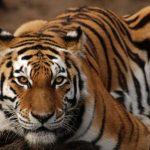 -نمر-2019-معلومات-النمور-كاملة-صور-ميكس-18-150x150 صور نمر 2019 معلومات النمور كاملة