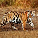 -نمر-2019-معلومات-النمور-كاملة-صور-ميكس-19-150x150 صور نمر 2019 معلومات النمور كاملة