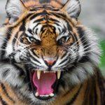 -نمر-2019-معلومات-النمور-كاملة-صور-ميكس-2-150x150 صور نمر 2019 معلومات النمور كاملة