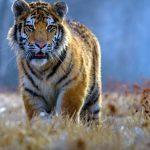 -نمر-2019-معلومات-النمور-كاملة-صور-ميكس-20-150x150 صور نمر 2019 معلومات النمور كاملة