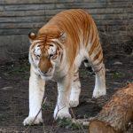 -نمر-2019-معلومات-النمور-كاملة-صور-ميكس-23-150x150 صور نمر 2019 معلومات النمور كاملة
