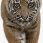-نمر-2019-معلومات-النمور-كاملة-صور-ميكس-24-150x150 صور نمر 2019 معلومات النمور كاملة