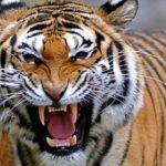 -نمر-2019-معلومات-النمور-كاملة-صور-ميكس-25-150x150 صور نمر 2019 معلومات النمور كاملة