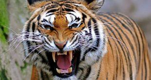 نمر 2019 معلومات النمور كاملة صور ميكس 25