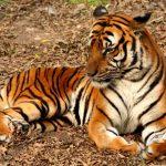 -نمر-2019-معلومات-النمور-كاملة-صور-ميكس-27-150x150 صور نمر 2019 معلومات النمور كاملة