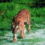 -نمر-2019-معلومات-النمور-كاملة-صور-ميكس-28-150x150 صور نمر 2019 معلومات النمور كاملة