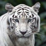 -نمر-2019-معلومات-النمور-كاملة-صور-ميكس-29-150x150 صور نمر 2019 معلومات النمور كاملة