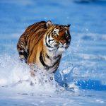-نمر-2019-معلومات-النمور-كاملة-صور-ميكس-3-150x150 صور نمر 2019 معلومات النمور كاملة