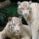 -نمر-2019-معلومات-النمور-كاملة-صور-ميكس-30-150x150 صور نمر 2019 معلومات النمور كاملة